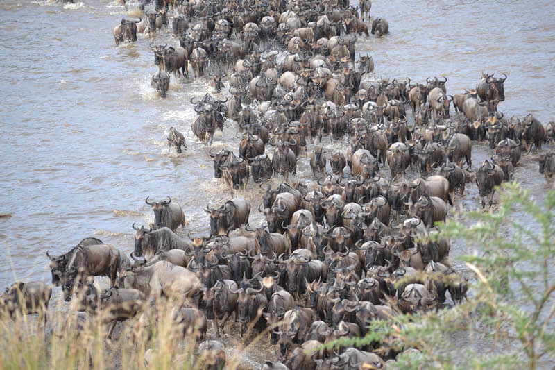 Crossing of the wildebeest on the river Mara, Safari Tanzania, Sogno Africano Safaris