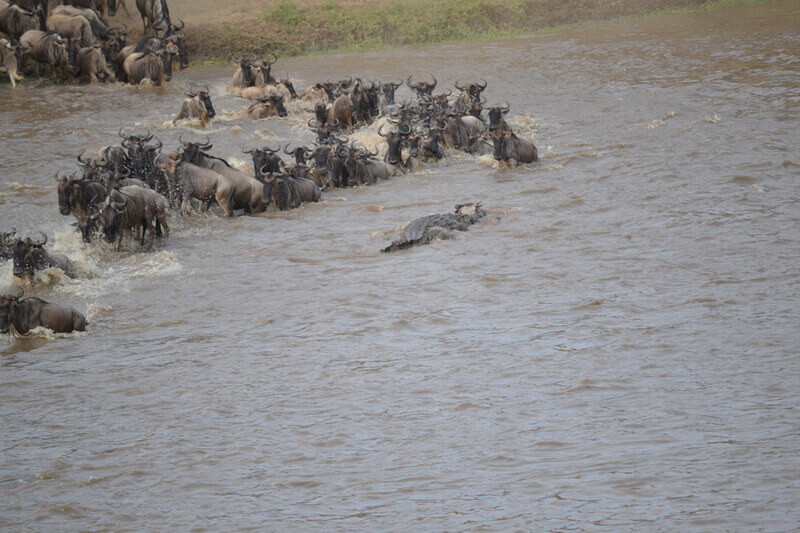 The wildebeest that ends up in the jaws of the crocodile, Safari Tanzania, Sogno Africano Safaris