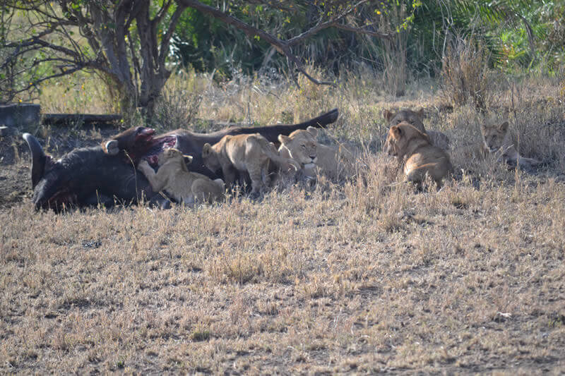 The hunt for lionesses to a buffalo, Safari Tanzania, Sogno Africano Safaris