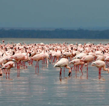 In search of a Flamingo